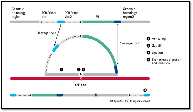 Molecular Inversion Probe (MIP) Assay